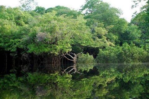 Arbres au bord de l'Amazone