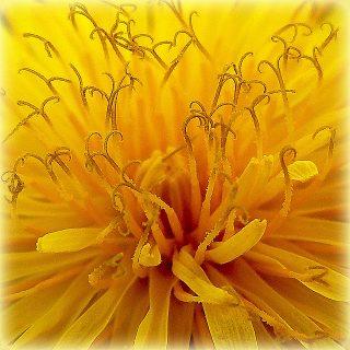 intérieur d'une fleur jaune