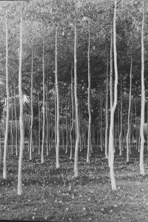 forêt de bouleaux, photographie noir et blanc