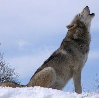 Photographie d'un loup hurlant