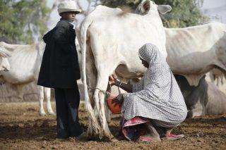 L'Afrique de l'Ouest consomme de plus en plus de « faux lait » européen