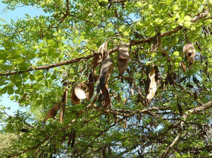 une branche d'accacia