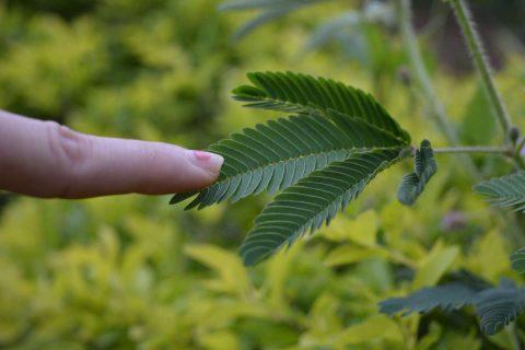 doigt touchant les feuilles du mimosa qui se referment au contact
