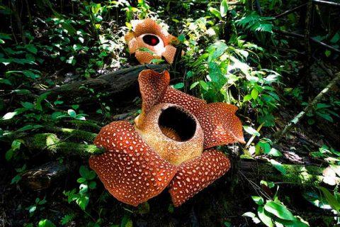 Rafflesia arnoldii est une plante parasite qui dégage une forte odeur de charogne pour attirer ses proies