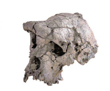 Crâne de Toumaï