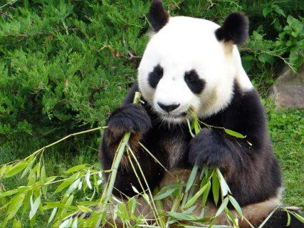 L'un des pandas géants accueillis au Zoo de Beauval, Saint-Aignan, France.